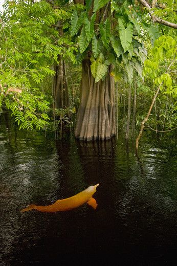 an Amazon river dolphin, inia geoffrensis, swims in the tannin-stained waters of the Ariaú river in Brazil