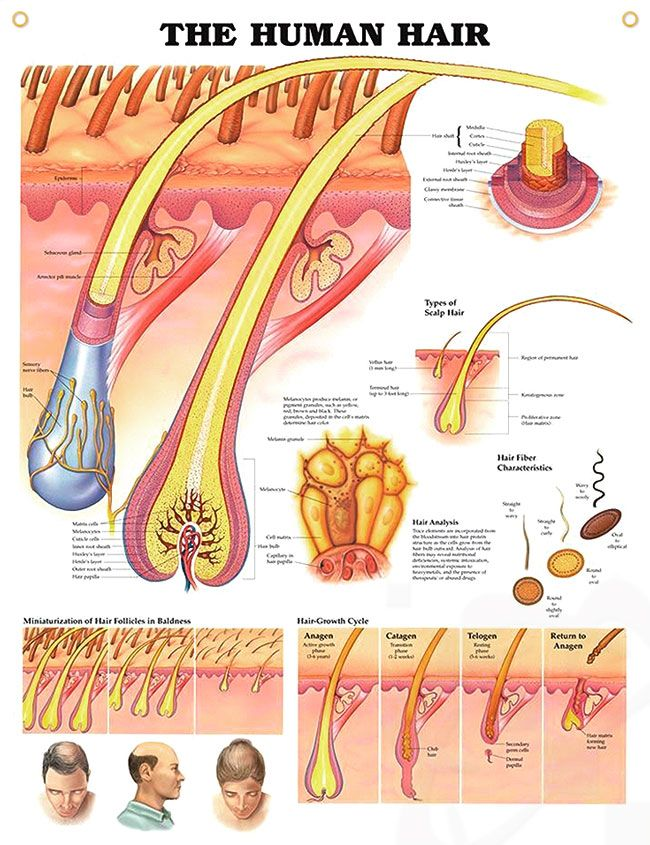 The Human Hair anatomy poster shows detailed anatomical view of scalp and hair within the skin extending to the hair shaft.