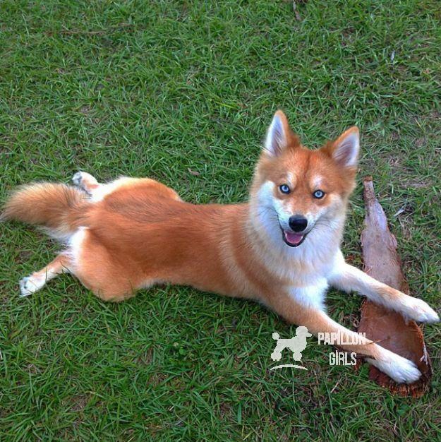 Spitzky Spitz Husky 19 Ungewohnliche Hunde Kreuzungen Die Dein Herz Im S Spitzky Spitz Husky 19 Ungewohnliche Mixed Breed Dogs Pet Fox Fox Dog