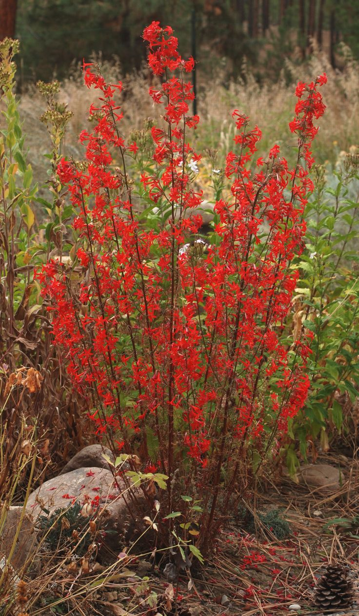 Scarlet Gilia (Ipomopsis aggregata) hardy biennial/perennial. Drought tolerant, grows in poor soil, attracts hummingbirds zone 4-11