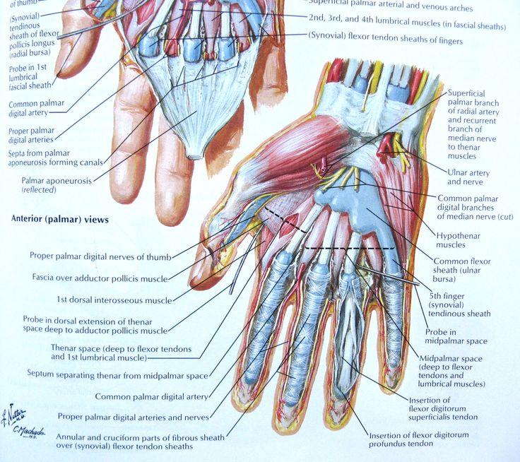 77 besten anatomy references - arm Bilder auf Pinterest ...