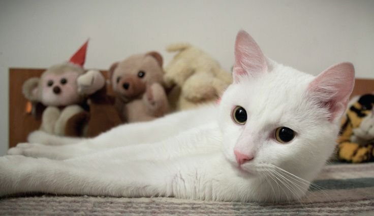 Picúr / white cat