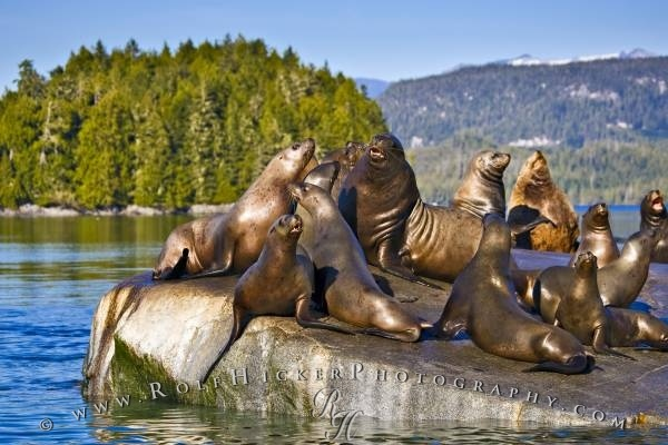 Steller Sea Lions (Eumetopias jubatus), sea animals in the Broughton Archipelago near Fife off the northern British Columbia coast in Canada. Also known as Steller's sea lion, Northern sea lion. ~ http://www.rolfhickerphotography.com/picture/sea-animal-steller-sea-lions-resting-broughton-archipelago-5.htm