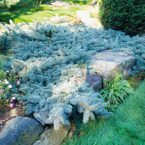 Use Evergreens to Make an Impact in Your Landscape: Cover the Ground Enjoy a beautiful carpet by letting spreading evergreens become a groundcover. A creeping blue spruce (Picea pungens 'Procumbens', shown here), junipers, or spreading pine is perfect for filling a space with year-round color and interest.