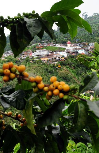Pic by Neil Palmer (CIAT). Coffee cherries growing near the remote town of Balboa, in Colombia's coffee zone.