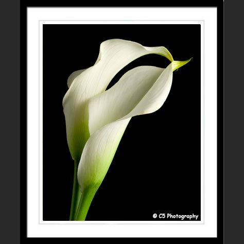 Photographs Of A Pair Of White Calla Lilies In A Vase With A Black  Background. These Calla Lily Images Were Taken By Photogrpahy.
