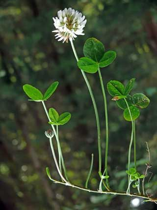Vitklöver, Trifolium repens - Blomväxter - NatureGate