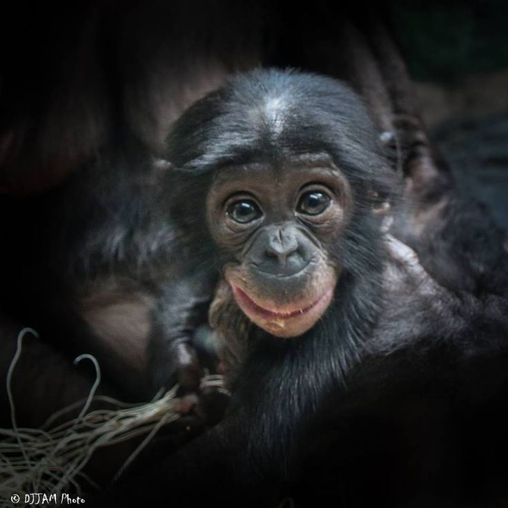 An infant bonobo looks surprised into the camera, posted by Cincinnati Zoo & Botanical Garden on FaceBookThe bonobo (Pan paniscus), formerly called the pygmy chimpanzee  and less often, the dwarf or gracile chimpanzee, is an endangered great  ape.