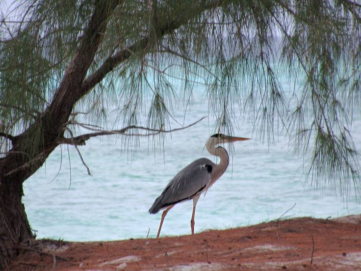 A grey heron taking a stroll along the beach on Picard Island, Aldabra Atoll, Seychelles.