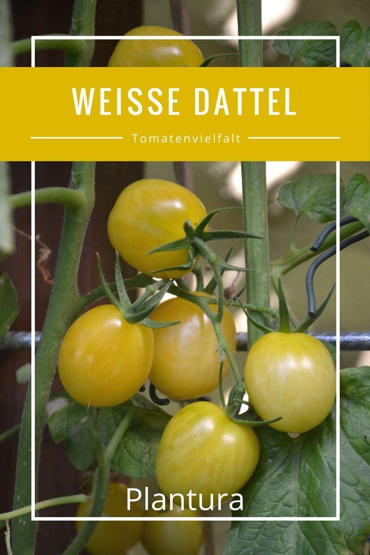 Weltweit existieren Experten zu folge über 35.000 Tomatensorten. Alleine die Sortenliste von Wikipedia umfasst derzeit über 23.000 verschiedene Sorten.