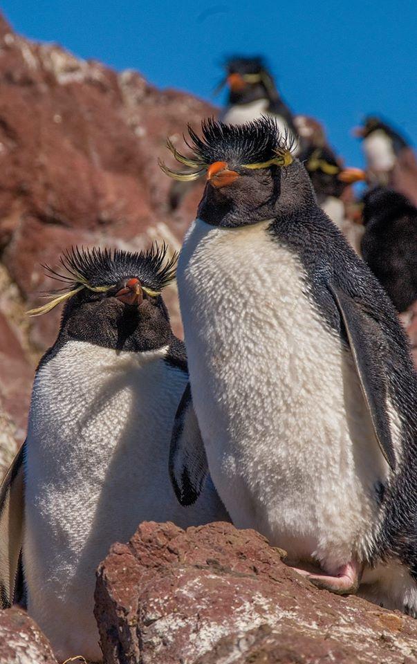 * Beauties found in Argentina. #penguins #birds #wildlife (s)
