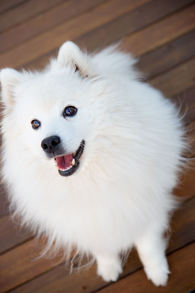 When I have my own house, I will adopt one Japanese Spitz :D