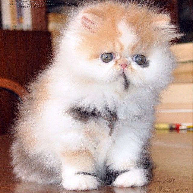 Persian kitties http://instagram.com/p/usCBG7G4Ah/