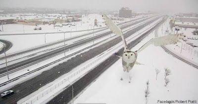 Owl Storytelling: Un gufo delle nevi si fa il selfie!