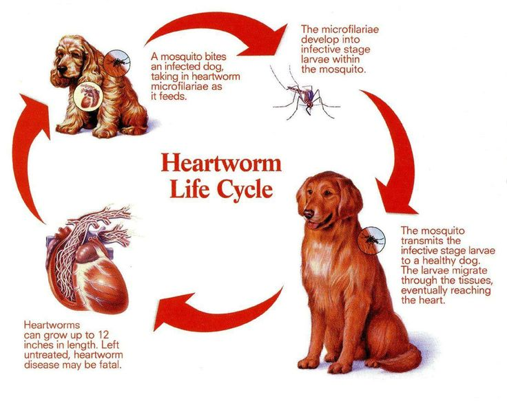 YOUNG LIVING HEARTWORM PROTOCOL Heartworm prevention