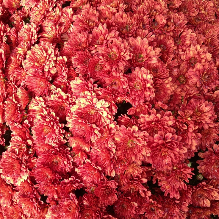 Fall Flower Mums: 17 Best Images About Flowers {Mums} On Pinterest