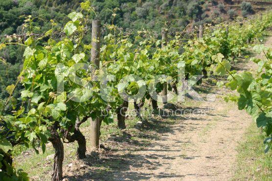 Ver na vinha Portugal - fotografia de stock royalty-free