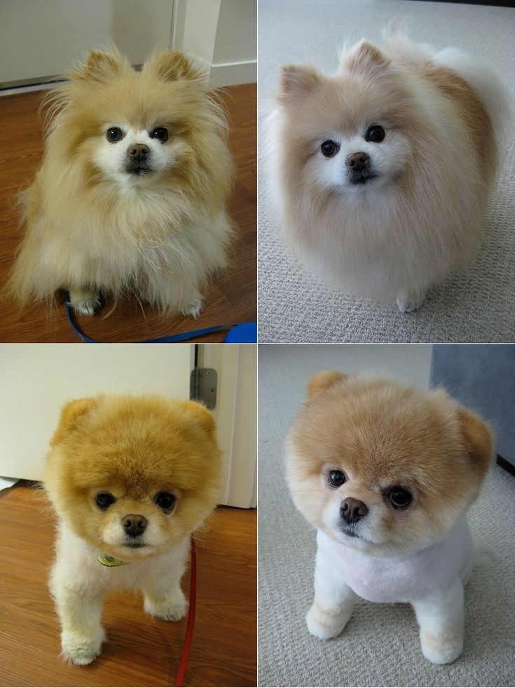 Boo, before and after. Exactly what I shall do if I ever get a pomeranian.