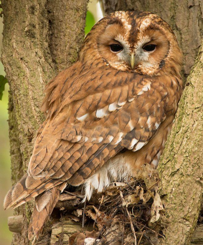Tawny Owl (Photo by Gary Davis) | Owl pictures, Owl photos ...
