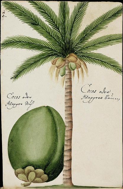Botanical Illustration Batavian Travels - GF Müller von Ruffach, 1681