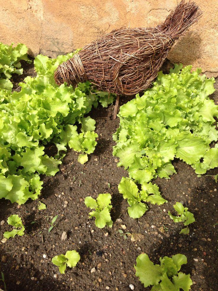 Potager/Salades