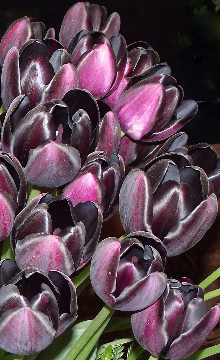 Black Tulips are so beautiful, but don't last as cut flowers!!