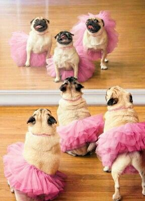 little ballet puggies lol my bff loves pugs and ballay