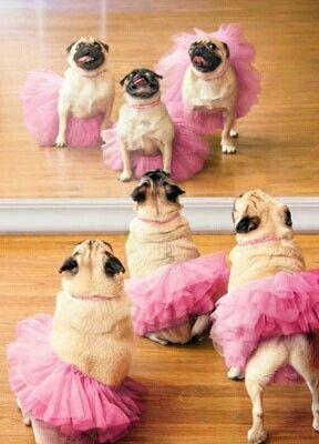 Ballet class! #pugs #ballet #tutu
