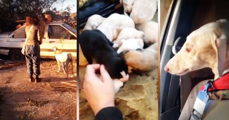 When Lianne Powell found a severely injured dog wandering around the square looking for food she took her to a local vet. The vet realized that this dog had just given birth. So they put a cast on her broken leg and took her back out to find her puppies. And seeing this momma lead them directly to h