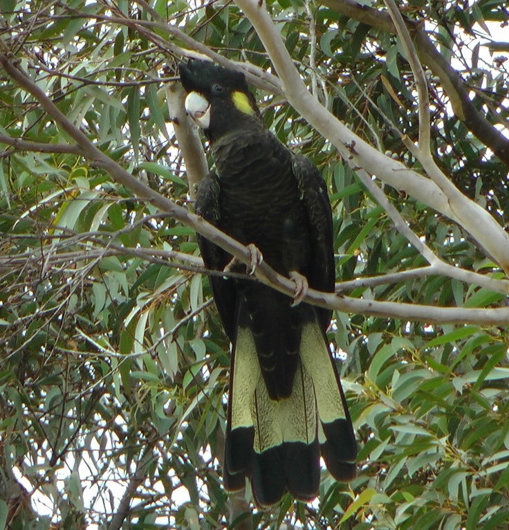 Black Cockatoo in our back yard