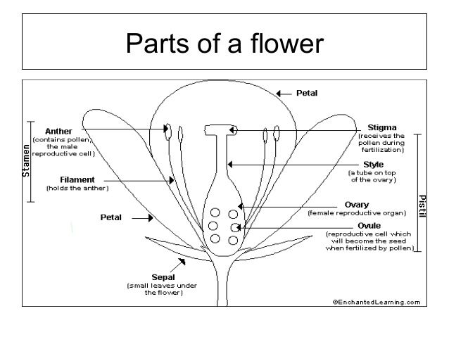 Image Result For Structure Mint Flower Parts Of A Flower Mint Flowers Medical Herbs