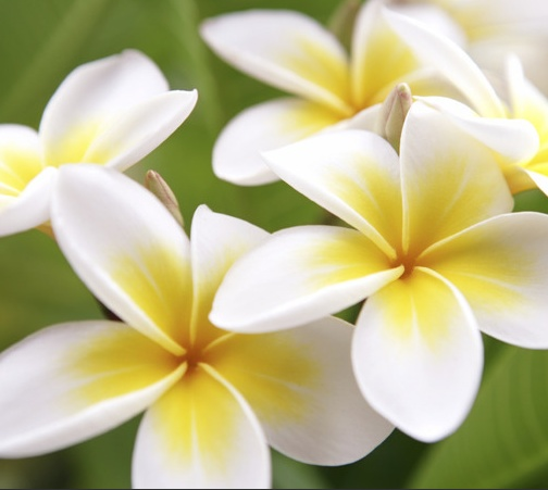 Plumeria A Tropical Tree Whose Flowers Are Used For Hawaiian Leis