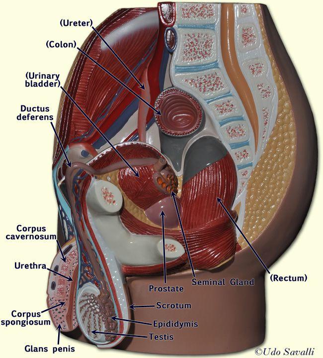 Female Pelvis Diagram