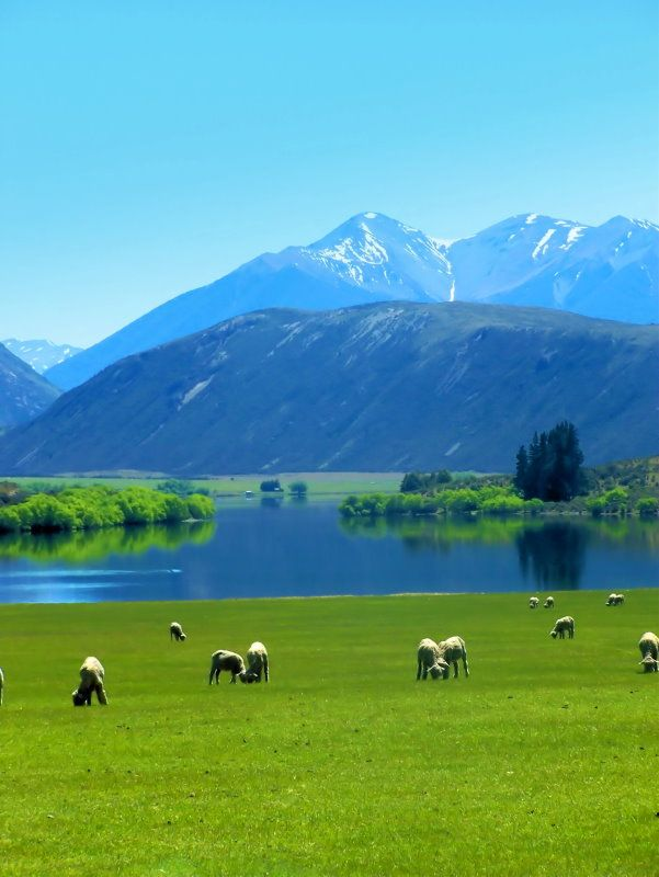 Lake Pearson, South Island, New Zeland...SHEEP! (Small obsession...blaming Wallace and Gromit)