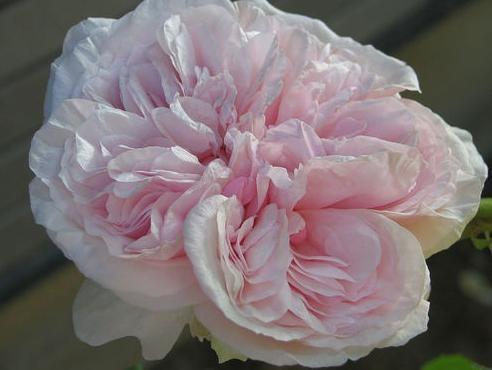 Souvenir de Malmaison-I have this rose and she is phenomenal