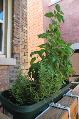 Ten Mistakes New Herb Gardeners Make (and How to Avoid Them!) via The Skinny Gourmet -- starts, varieties, watering, when to cut, where to cut, too randy, no nutients, in a rut, herb taking over.
