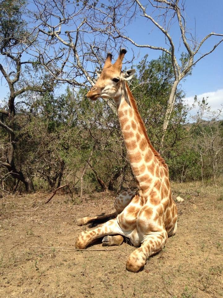 Giraffe, PheZulu game park, Durban, South Africa