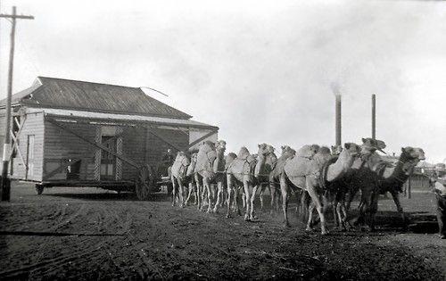 Camel train transporting a house in Kalgoorlie, Western Australia