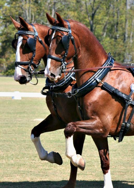 Dutch Harness Horses, or Tuigpaard. photo: Amanda Bassett.