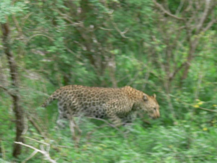 Parque Kruger. Leopardo: Demasiado rápido para mí.