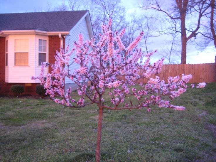 My Patio Peach Tree