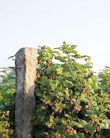 martha stewart on growing berries