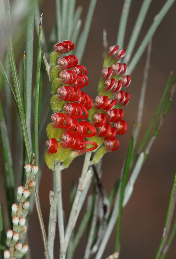 ˚Red Toothbrush Grevillea