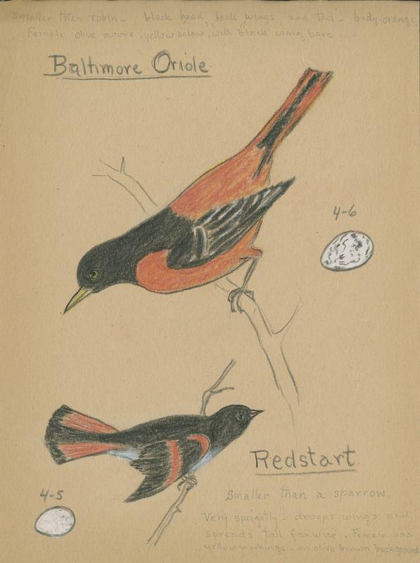 Baltimore Oriole and Redstart | saskhistoryonline.ca