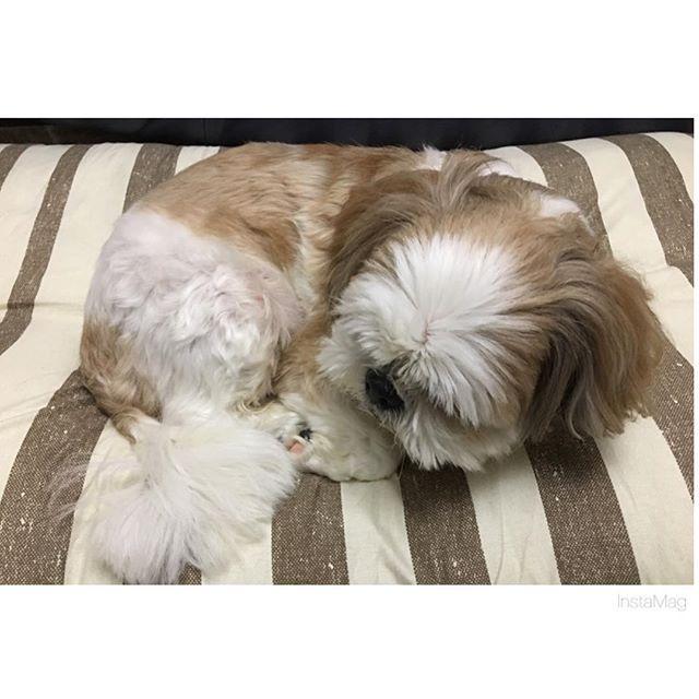 今日は犬の日🐶 * 相変わらずカメラを向けると こっち向いてくれない😭 * 12歳でおじいちゃんなってきた… 長生きしてね、大好きだよ💕 * * #愛犬 #シーズー #いぬ #いぬばか部 #シーズーだいすき部 #いぬとの暮らし #写真嫌いな犬 #犬の日