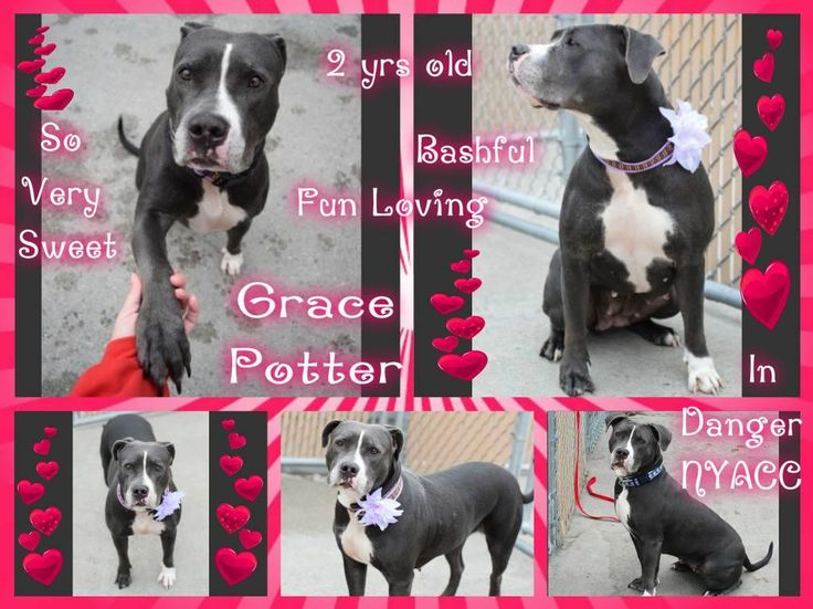 TO BE DESTROYED 10/17/16**SECOND TIME ON LIST** A volunteer writes: There is just something about Grace Potter! She can be very bashful and nervous, but so, so sweet! She is quiet in her cage but has started doing a very subtle wiggle when I approach and sometimes even submissively lifts her paw (she'll offer it for treats, too!). She wears her heart in her facial expressions and always seems to be taking everything in. She comes to us as a stray via NYPD so we don't know about her past, but…