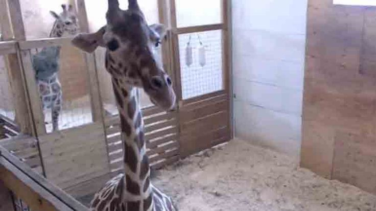 "#WATCH LIVE: April the giraffe's handlers say they're anticipating ""another long night"" - fox6now.com: fox6now.com WATCH LIVE: April the…"