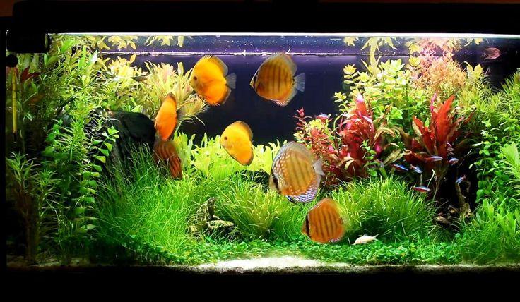 Discus Fish Varieties | Fish Species n.3 - Discus (Symphysodon discus) - Feast Eyes ~ Beautiful discus planted aquarium