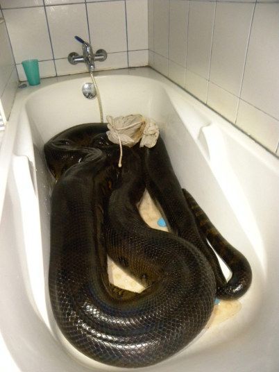 Giant anaconda captured after eating pet dog in French Guiana, in pictures. Sebastien said by the time he and his neighbour landed the snake it was too late to re-home it away from the residential area. So he brought it into his family home to spend the night in the bathtub. Picture: Sebastien Bascoules / Barcroft