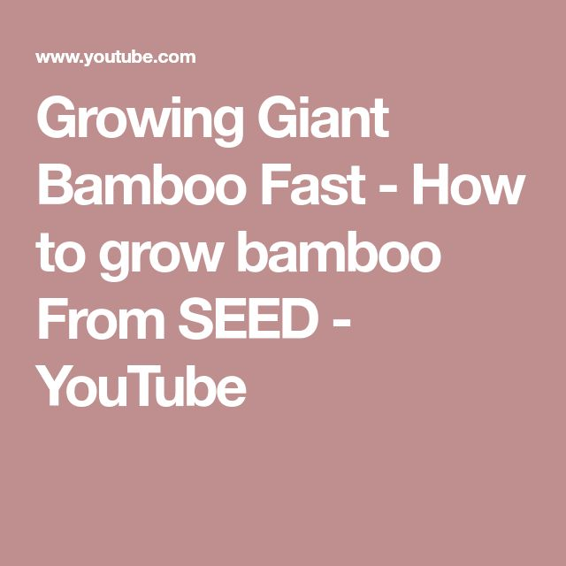 Growing Giant Bamboo Fast - How to grow bamboo From SEED - YouTube
